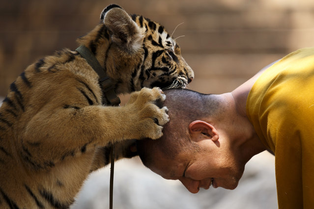 A Buddhist monk plays with a tiger at the Wat Pa Luang Ta Bua, otherwise known as Tiger Temple, in Kanchanaburi province February 12, 2015. (Photo by Athit Perawongmetha/Reuters)