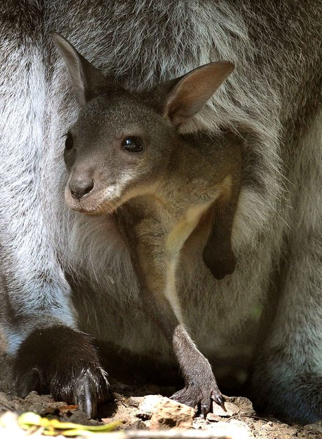 A young red kangaroo looks out from its mother's pouch at the Hanover Zoo in Germany on August 27, 2013. (Photo by Holger Hollemann/AFP Photo)