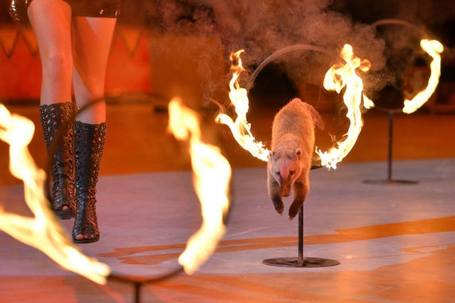 A coati jumps through burning hoops during a show called the Caravan of Wonders at the National Circus in Kiev, on September 21, 2013. (Photo by Sergei Supinsky/AFP Photo)