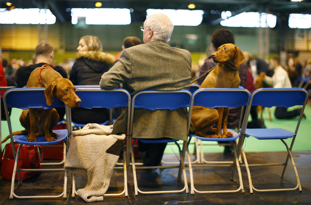 A man sits with two Hungarian Vizla during the first day of the Crufts Dog Show in Birmingham, central England, March 5, 2015. (REUTERS/Darren Staples)