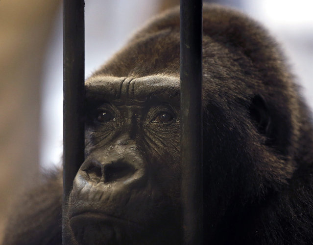 """Female gorilla """"Bua Noi"""" (""""Little Lotus"""") looks through the bars of her cage at the Pata Zoo situated on the top floor of a shopping center in Bangkok, Thailand, 17 March 2015. The zoo denied it agreed to free the gorilla and give her to another zoo while animal rights activists initiated a petition by collected more than 35,000 signatures calling to free the gorilla. (Photo by Rungroj Yongrit/EPA)"""