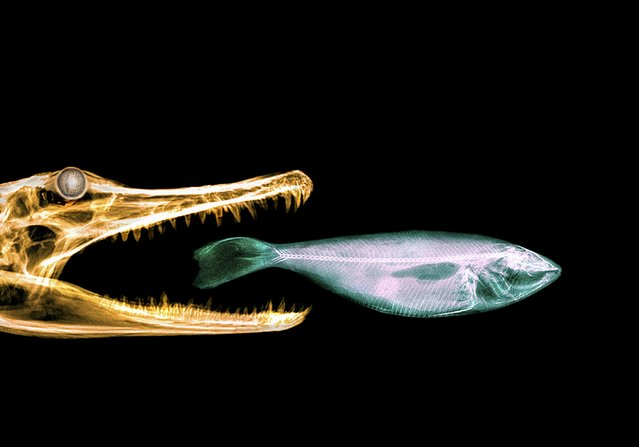 A Crocodilian eats a fish in this coloured X-ray. (Photo by Paula Fontaine/Barcroft Media)