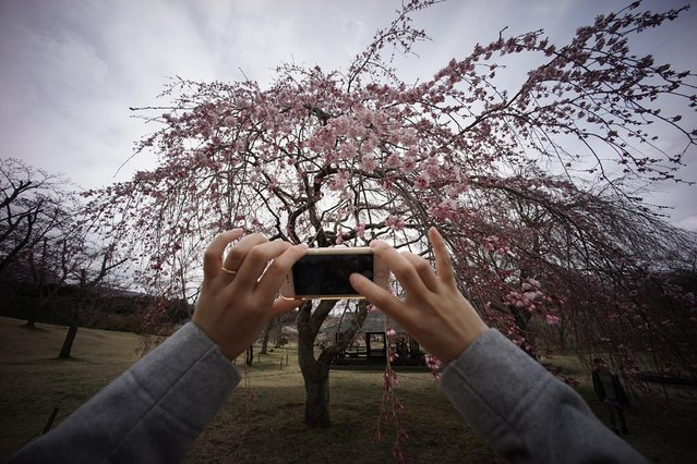 A visitor takes a picture of blooming cherry blossoms at Sakura-no-sato in Ito, Shizuoka Prefecture, Japan, Sunday, March 29, 2015. (Photo by Eugene Hoshiko/AP Photo)
