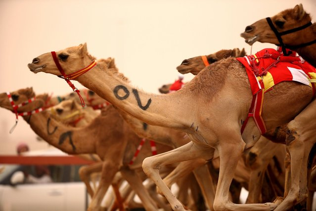 Camels race during Al Marmoom Heritage Festival at the Al Marmoom Camel Racetrack on April 2, 2015 in Dubai, United Arab Emirates. The festival promotes the traditional sport of camel racing within the region. (Photo by Francois Nel/Getty Images)