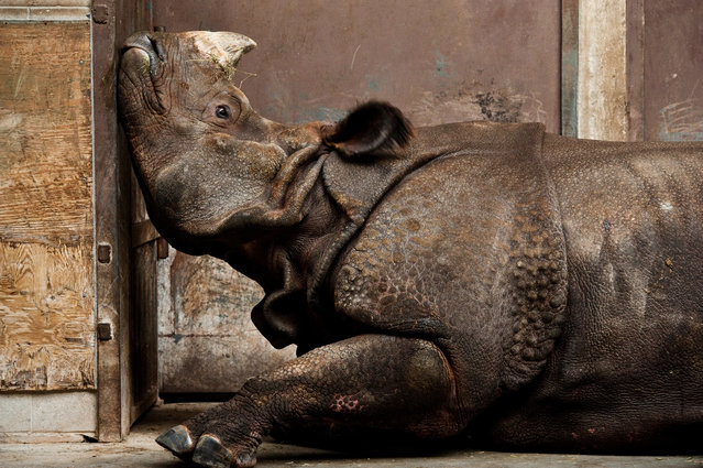 """Honorable Mention"". An Indian rhinoceros, far from home and stuck inside with late-winter blues at the Toronto zoo. Photo location: Toronto, Ontario, Canada. (Photo and caption by Stephen De Lisle/National Geographic Photo Contest)"
