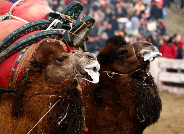Two wrestling camels leave after a fight at the Pamucak arena during the annual Selcuk-Efes Camel Wrestling Festival in the Aegean town of Selcuk, near Izmir, Turkey, January 15, 2017. (Photo by Murad Sezer/Reuters)