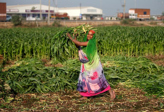 A farm worker collects harvested maize crop in a field on the outskirts of Ahmedabad, India, February 1, 2019. (Photo by Amit Dave/Reuters)