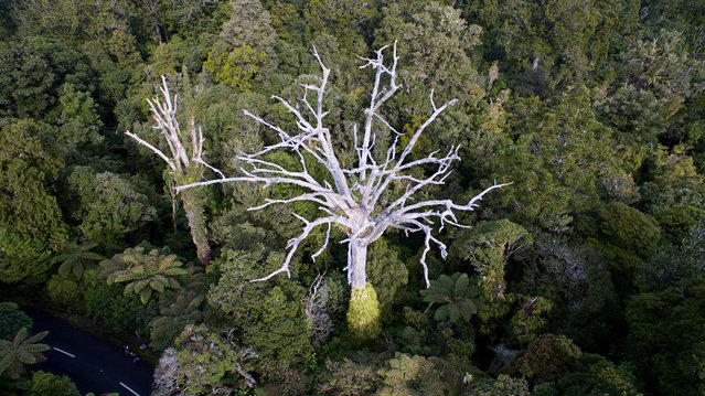 A native Kauri tree seen in a Northland forest, New Zealand on January 15, 2020. A battle is on to save the nation's most iconic tree as a plant-killing disease sweeps the country's forests. (Photo by New Zealand Ministry For Primary Industries/AAP)