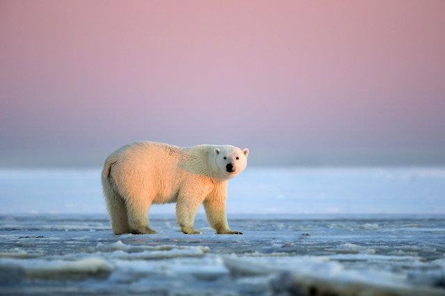 Polar Bear – Sub adult in slush ice at sunset. (Photo by Sylvain Cordier/Caters News)