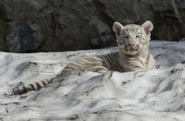 A white Bengal tiger cub lies in snow in a zoo in the Siberian city of Novosibirsk, about 2,800 kilometers (1,750 miles) east of Moscow, Russia, Tuesday, April 21, 2015. (Photo by Ilnar Salakhiev/AP Photo)