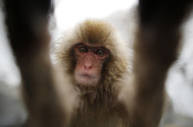 A young Japanese Macaques (or Snow Monkey) touches the camera lens as they gather to soak in a hot spring at a snow-covered valley in Yamanouchi town, central Japan January 20, 2014. (Photo by Issei Kato/Reuters)