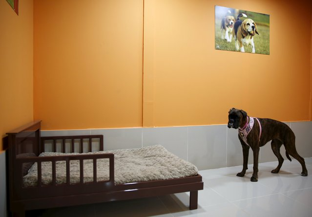 A dog is seen at a room in My Second Home, a newly opened luxury pet resort and spa, in Dubai, April 24, 2015. (Photo by Ahmed Jadallah/Reuters)