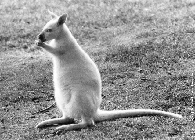 1975: A baby wallaby takes a quick wash