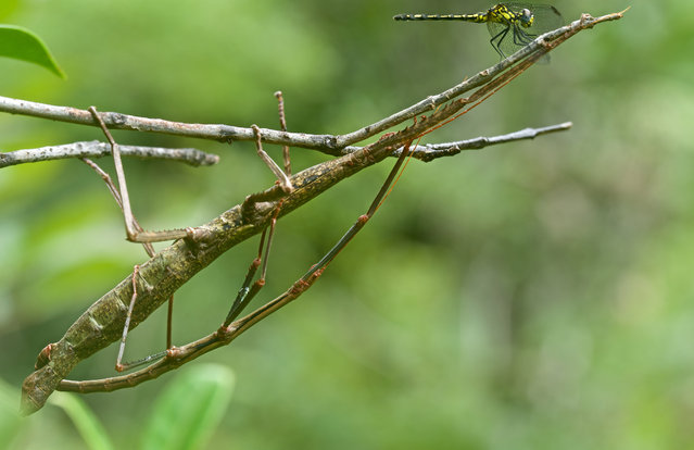 Stick insects. (Photo by Paul Bertner/Caters News)