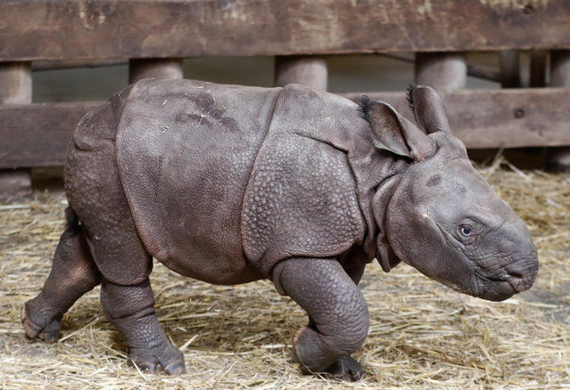 A newly born baby Indian rhino walks in its enclosure at the zoo in Plzen, Czech Republic, Friday, February 24, 2017. (Photo by Petr David Josek/AP Photo)