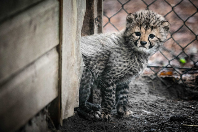 One of five cheetah cubs explores its outdoor enclosure for the first time in Beekse Bergen Safari Park, Hilvarenbeek, the Netherlands, 09 March 2017. The five cheetah were born on 01 February 2017. (Photo by Rob Engelaar/EPA)