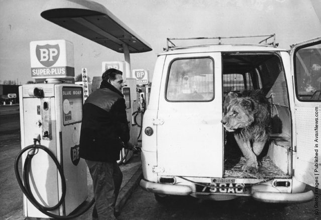 1966: A petrol pump attendant is surprised to see a lion emerge from the back of the van he is filling