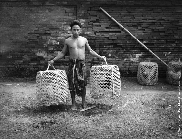 1930s:  Bare-chested Balinese man holding two large birdcages containing fighting cock birds, Indonesia