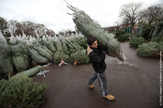 A Christmas tree salesman arranges his stock at The Royal Hospital Chelsea