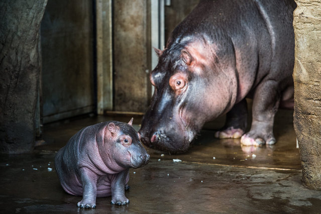 """A one-month old baby hippo and its mother """"Maruska"""" leave their stable at the hippopotamus enclosure of the zoo in Prague, Czech Republic, 26 February 2016. The baby-hippo, which was born on 28 January 2016, has not yet been named. (Photo by Filip Singer/EPA)"""