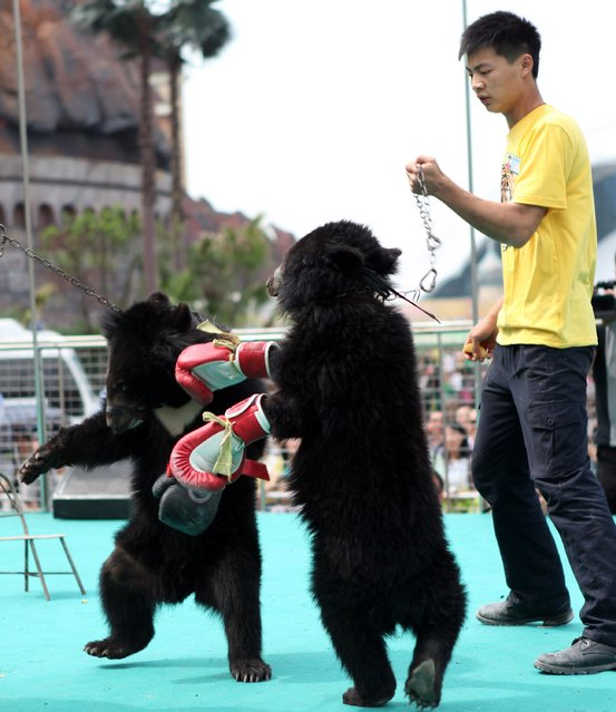 A trainer coaxes two black bears to box at an animal park during an event dubbed as the animal olympic games in Chongqing on May 1, 2014.  The event attracts thousands of visitors enjoying the four-day Mayday holidays in China. (Photo by AFP Photo/STR)