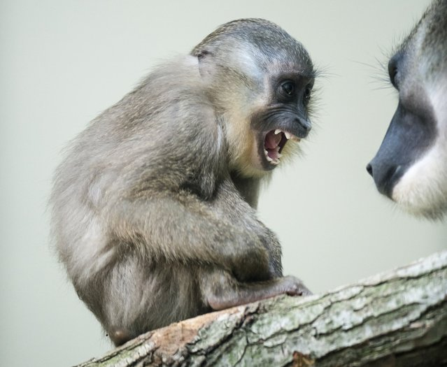 A rare Drill monkey breed is seen at the Dvur Kralove nad Labem zoo, July 10, 2015, in Czech Republic. (Photo by David Tanecek/AP Photo)