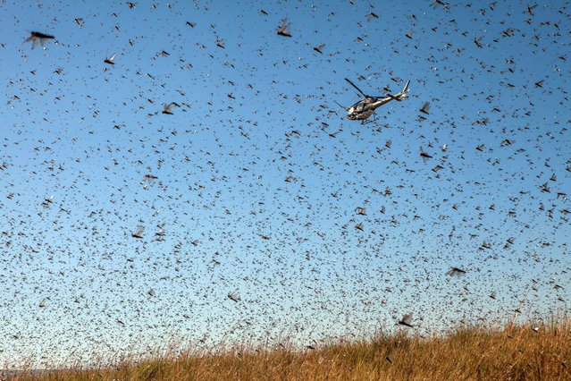 A helicopter of the Food and Agriculture Organization of the United Nations (FAO) flies through millions of Locusts as spreads pesticide to fight against a swarm of locusts threatening to reach Amparihibe village on May 7, 2014 in Tsiroanomandidy , Madagascar. FAO mission is to fight the locust's swarm with an insecticide. (Photo by AFP Photo/RIJASOLO)