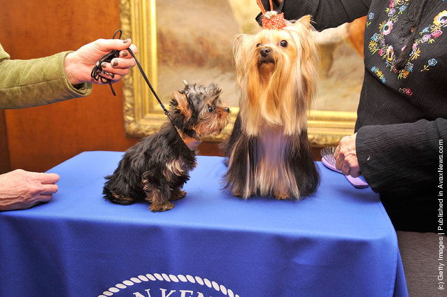 Sierra,  a Yorkshire Terrier puppy (L) and Heidi, a Yorkshire Terrier adult attend as American Kennel Club announces Most Popular Dogs in the U.S. at American Kennel Club Offices