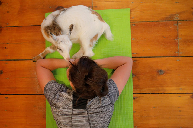 A goat lies with Kylie Kennedy during a yoga class at Jenness Farm in Nottingham, U.S. on May 18, 2017. Initially, its yoga teachers are conducting their classes in a side room off the store but Corriveau, 52, said he plans to renovate the upper floor of the milking barn into a dedicated studio space. That could allow it to double its class sizes to 16 people from the current cap of eight. (Photo by Brian Snyder/Reuters)