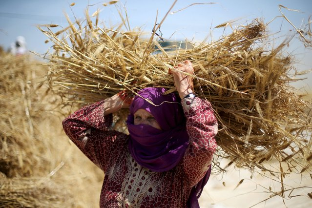 A Palestinian woman collects barley during harvest on a farm in Khan Younis in the southern Gaza Strip April 25, 2016. (Photo by Ibraheem Abu Mustafa/Reuters)