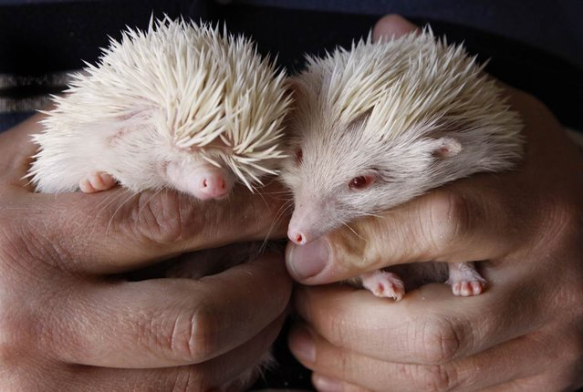 A couple of rare albino hedgehogs are photographed in a pet shop in Johannesburg, South Africa