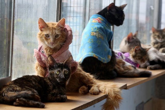 In this August 6, 2014 photo, a group of sick cats rest in Maria Torero's hospice for felines suffering from Leukemia, at her home in Lima, Peru. She estimates she spends about $1,785 a month to care for them, half of that from donations and the other half from her job as a private nurse. (Photo by Martin Mejia/AP Photo)