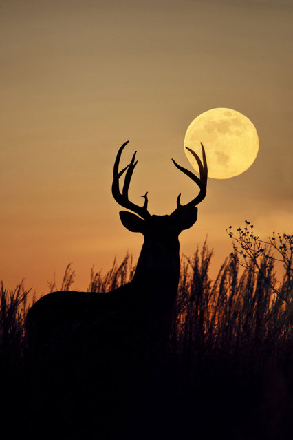 A White-tailed Deer, buck with harvest moon rising in Texas. (Photo by Larry Ditto/Dantia Delimont/Caters News/Ardea)