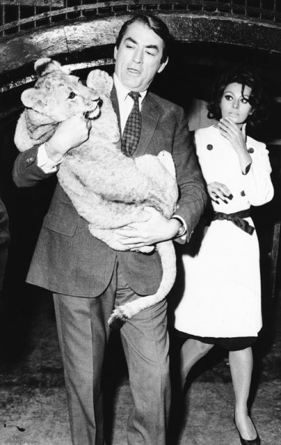 """Acting as if its a routine affair, actor Gregory Peck carries an eight-month-old lion club at the London Zoo  August 31, 1965, but co-star Sophia Loren shows her doubts about this extra-curricular role. They are in London shooting a film, """"Arabesque"""". (Photo by AP Photo)"""