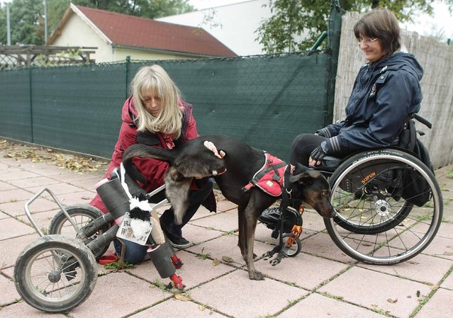 Susanna Nitz-Wessely (L) helps her friend Regine Grosinger's three-years-old dog Hope into its wheelchair in Vienna September 3, 2014. Hope was found with cut-off back legs in the countryside and brought to an animal asylum when it was four-month-old. Grosinger took the dog home two months later and had a wheelchair manufactured for it. (Photo by Heinz-Peter Bader/Reuters)