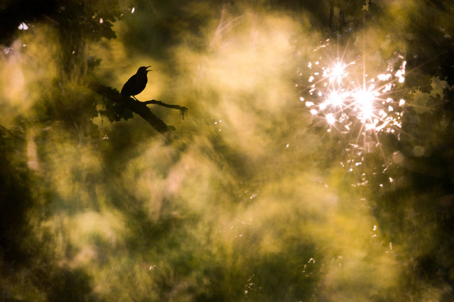 Winner, Nature's Studio. Jan Piecha – Flooded With Light. A blackbird in North Hesse. (Photo by Jan Piecha/2020 GDT Nature Photographer of the Year)