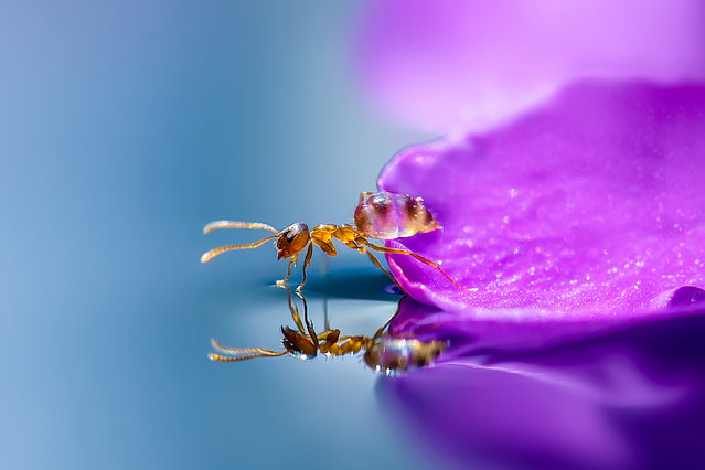 A macro view of an ant balanced half way between a purple flower and a pond in Obihiro, Japan. Animal-Lover Miki Asai has gone a step beyond feeding bread to the ducks – by syringe-feeding water to tiny ants. The office worker from Obihiro City, Japan, squirts droplets near the tiny insects and then uses a macro lens to capture quenching their thirst. The amateur photographer started capturing these images near her house in July 2013 after spotting an ant struggling in the rain. (Photo by Miki Asai/Barcroft Media)