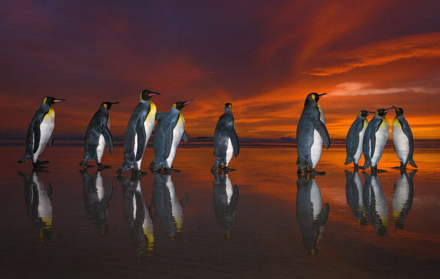 """Penguins majestically march on sand before heading out for a morning swim. Wildlife photographer Wim van den Heever, 45, visited the Falkland Islands this year to shoot pictures and scout the area for future tours. Wim's breathtaking images show a small group of king penguins before they head out to sea at sunrise. Wim said: """"The sunrise created beautiful vibrant colours and amazing reflections. I feel as though the pictures awaken a sense awe for the beauty of these king penguins and the remote Falkland Islands. I was photographing this scene while lying flat in the surf early morning. After 15min or so I was completely soaked from head to toe in icy seawater losing feeling in my hands and feet. My special clothing was being completely trashed by the salt water – not the most pleasant experience of my life. I kept on looking at the pictures on the back of the camera and that was all the incentive I needed to carry on"""". Here: King Penguins marching during sunrise, Falkland Islands. (Photo by Wim van den Heever/Caters News)"""