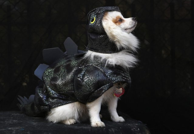 Pomeraniian Fritz poses as a dragon at the Tompkins Square Halloween Dog Parade on October 20, 2012 in New York City