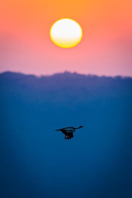 """Flight at Sunset"". A kori bustard enjoying a beautiful African sunset. Photo location: KwaZulu-Natal, South Africa. (Photo and caption by Hamish Mitchell/National Geographic Photo Contest)"