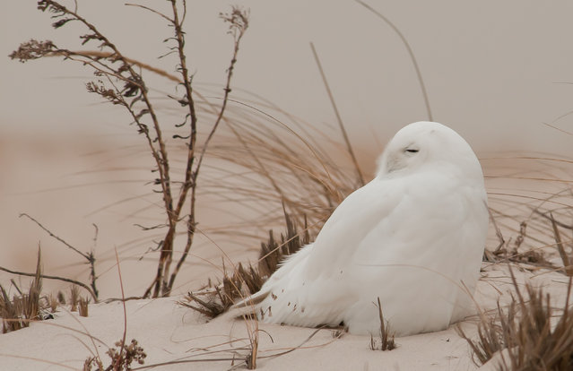 """""""Snowy old"""". Not too far from the daily """"rush hour"""" campaign one can visit one of nature's most special environments – Jones Beach, New York, the west end. It's a perfect host for various bird of prey species throughout the four seasons. Each winter hundreds of birders and photographers travel in search of the snowy owl. Photo location: Long Island, NY. (Photo and caption by David Dillhoff/National Geographic Photo Contest)"""