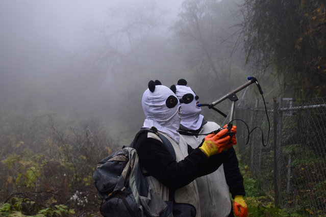 Workers wearing panda masks use a wireless device to detect the location of Yingxue, a panda which has received survival training, at a protection base before reintroducing it to the wild, in Wolong, Sichuan province, China November 20, 2017. (Photo by Reuters/China Stringer Network)