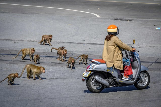 This picture taken on June 20, 2020 shows longtail macaques chasing a woman on a scooter in the town of Lopburi, some 155km north of Bangkok. Residents barricaded indoors, rival gang fights and no-go zones for humans. Welcome to Lopburi, an ancient Thai city overrun by monkeys super-charged on junk food, whose population is growing out of control. (Photo by Mladen Antonov/AFP Photo)