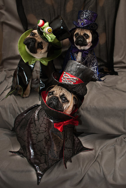 """Blue, Bono and Roxy dressed as """"Creole Counts"""" – costumes inspired by Cajun and Creole culture in Sonoma County, California, 2014. (Photo by Phillip Lauer/Barcroft Media)"""