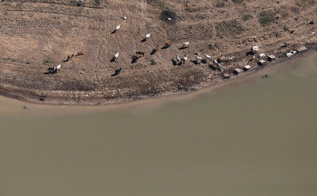 An aerial view of cows on the cracked ground of Jaguari dam, part of the Cantareira reservoir, during a drought in Braganca Paulista, Sao Paulo state November 18, 2014. (Photo by Nacho Doce/Reuters)