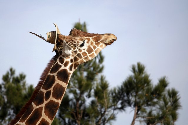 Modesto the giraffe wears a hat at the zoo in Ciudad Juarez November 17, 2014. Modesto is the mascot of the city and looking for a mate, according to the zoo administration. (Photo by Jose Luis Gonzalez/Reuters)
