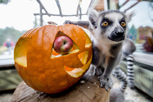 A lemur inspects a pumpkin during a Halloween party in the zoological garden in Dvur Kralove nad Labem, Czech Republic on October 20, 2015. The party is a part of preparation for ''Week of Spirits'' held from Oct. 24 till Nov. 1 in the zoo. (Photo by David Tanecek/CTK via ZUMA Press)