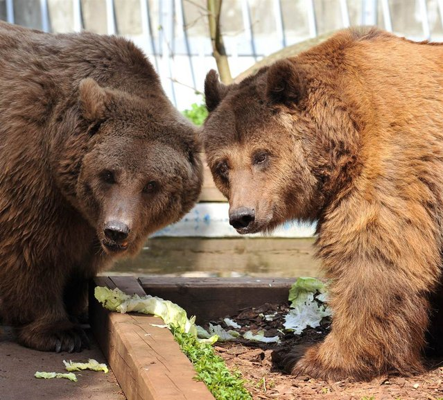 Bears Maxi and Schnute, right, eat inside the Koellnischer Park in Berlin, Germany, on April 22, 2013. (Photo by Paul Zinken/EPA)