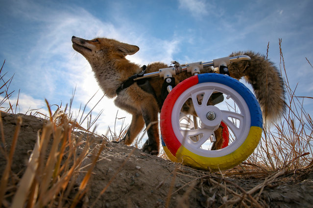 A physically disabled fox walks with its walking wheels wheelchair, developed by an animal lover by Van Yuzuncu Yil University Wildlife Conservation and Rehabilitation Center, after the fox found wounded in the urban countryside in Van, Turkey on December 05, 2020. The fox also received a physical treatment at the center. (Photo by Ozkan Bilgin/Anadolu Agency via Getty Images)
