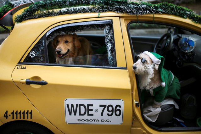 A dog is transported in the taxi driven by Nicolas Walteros, in the company of his pet Coronel using Santa's hats, amid the spread of the coronavirus disease (COVID-19) pandemic in Bogota, Colombia on December 23, 2020. (Photo by Luisa Gonzalez/Reuters)